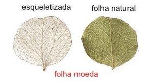 flor-do-cerrado-moeda